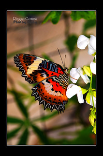 Borneon Red Lacewing Butterfly