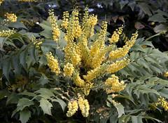 evergreen, shrub, flower, plant, flora,
