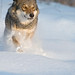 Grey wolf in snow © Wild Wonders of Europe / Sergey Gorshkov / WWF