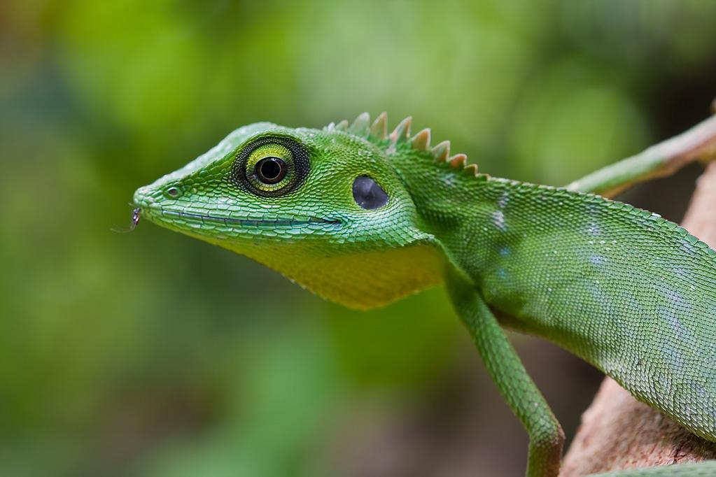 Green crested lizard, Bronchocela cristatella -- Macro in ...