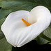 White Calla Lily in full bloom