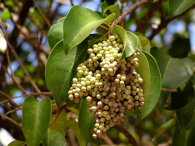 Alfeneiro (Ligustrum lucidum)