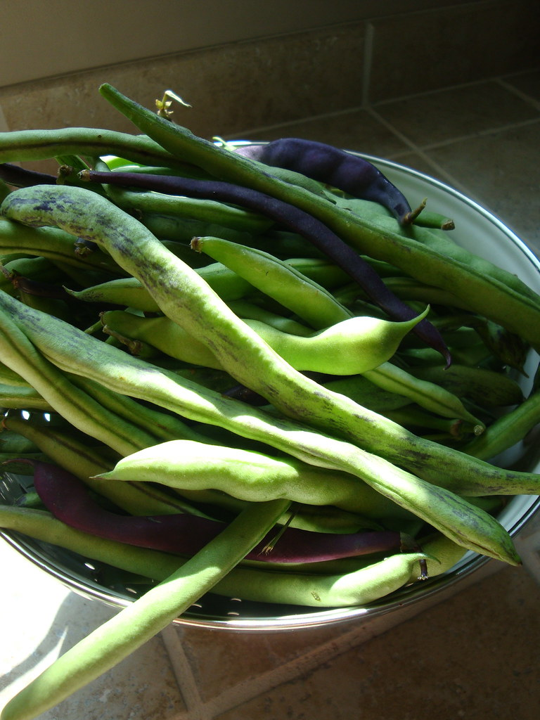Green Bean harvest
