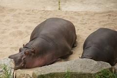 Hippos sleeping well