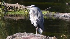 Heron (6)