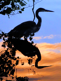 Heron at the Magic Hour