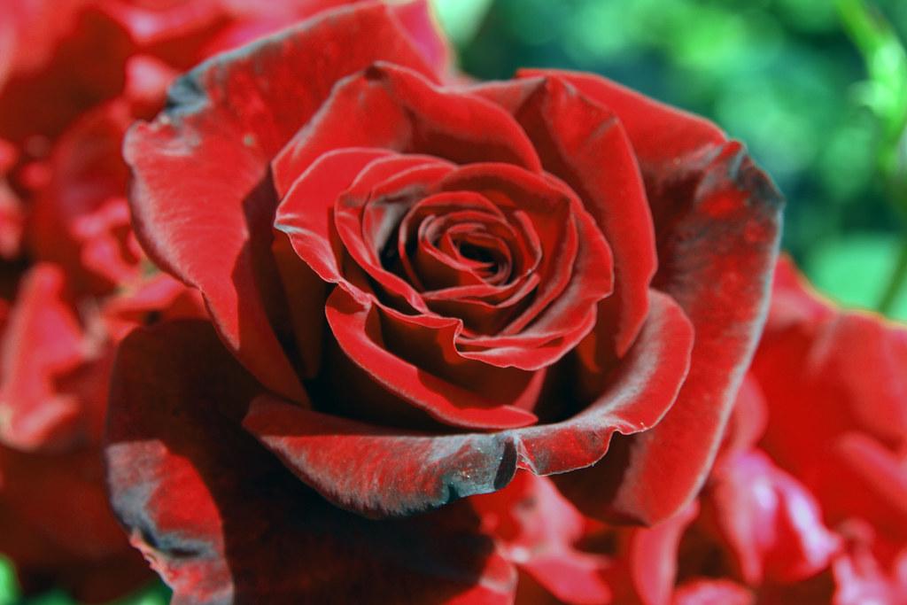 Black Magic Portland International Rose Garden Flickr
