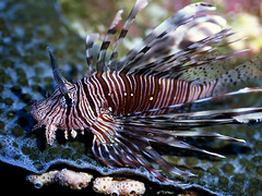 animal(1.0), fish(1.0), marine biology(1.0), macro photography(1.0), fauna(1.0), close-up(1.0), lionfish(1.0), scorpionfish(1.0), wildlife(1.0),