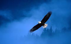 vulture(0.0), condor(0.0), animal(1.0), bird of prey(1.0), eagle(1.0), wing(1.0), blue(1.0), bald eagle(1.0), accipitriformes(1.0), beak(1.0), sky(1.0), bird(1.0), flight(1.0),