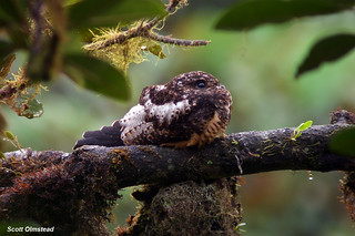 Rufous-bellied Nighthawk (Lurocalis rufiventris)