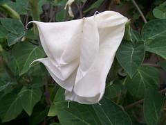 shrub(0.0), arum(0.0), gardenia(0.0), flower(1.0), datura inoxia(1.0), leaf(1.0), ipomoea alba(1.0), plant(1.0), flora(1.0), datura(1.0), petal(1.0),