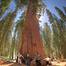 Measuring the Base of a Sequoia Redwood by howardignatius