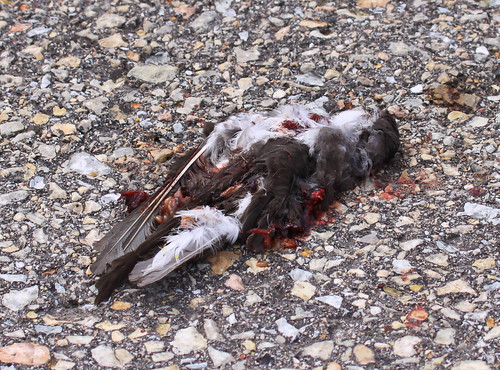 Young Tree Swallow killed by car on Goose Pond Road.