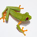 Small photo of Red Eyed Treefrog Agalychnis callidryas