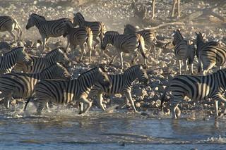 Image of Okaukuejo Waterhole. panic zebra etosha okaukuejo etoshawaterhole