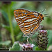 Common Silverline [Explored] by Priyal Mahendre   Sri Lanka