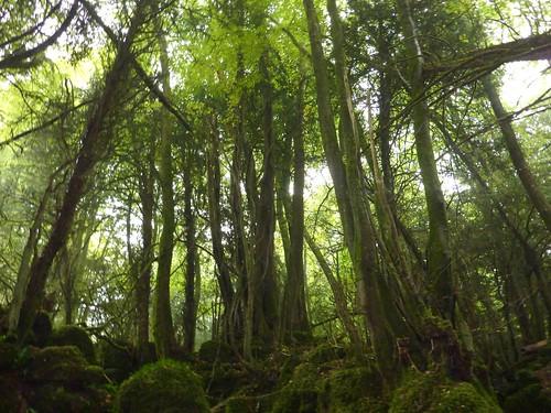 Puzzlewood Trees