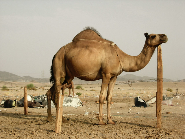 the importance of camels in the arabian communities Filling up on water, when it's available, is very important for camels they can drink 30 gallons the dromedary camel, also called an arabian camel.