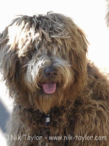 Scruffy Dog Breeds