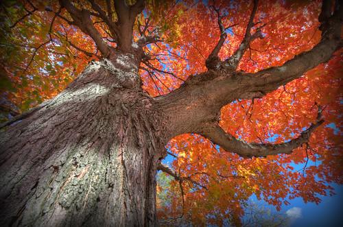 autumn ohio tree fall nature leaves nikon raw nef foliage bark hdr photomatixpro barbertonohio d3s nikkor1424f28