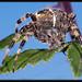 Araneus Diadematus by anpas69