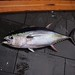 Yellowfin Tuna - Photo (c) NOAA Photo Library, some rights reserved (CC BY)