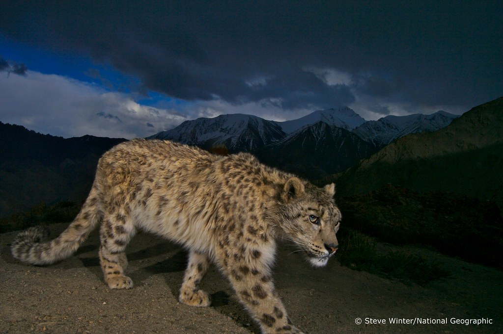Snow leopard against mountain backdrop