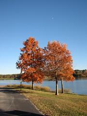 Bald Cypress in Autumn Lake Crabtree NC 0451