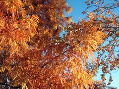 Bald Cypress in Autumn Lake Crabtree NC 0454