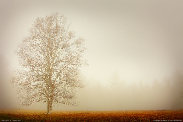 Lone Birch Tree in Morning Mist