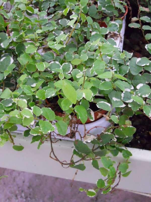 Ficus pumila 'Sunny' v 1