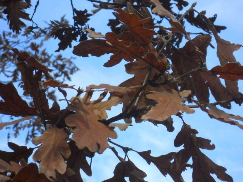 Quercus pyrenaica 3