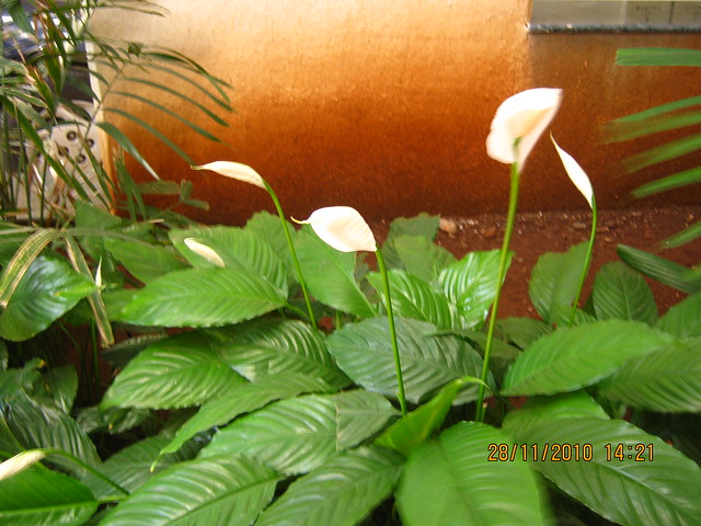 "Visit to Mont Vert Dieu ""C"" - 2 BHK - 3 BHK Flats - next to Balaji Temple - on Pashan Sus Road - Pune 411 021 - Flowers in the entrance lobby of A Building"