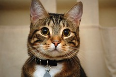 animal, tabby cat, toyger, small to medium-sized cats, pet, mammal, european shorthair, fauna, close-up, cat, rusty-spotted cat, whiskers, domestic short-haired cat,