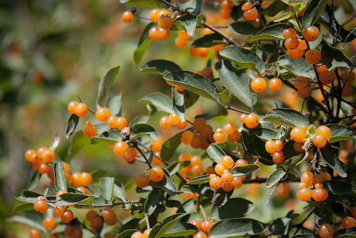 Berry bush 4583