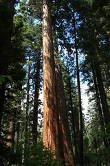 Calaveras Big Tree