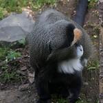 De Brazza's Monkey, Oregon Zoo