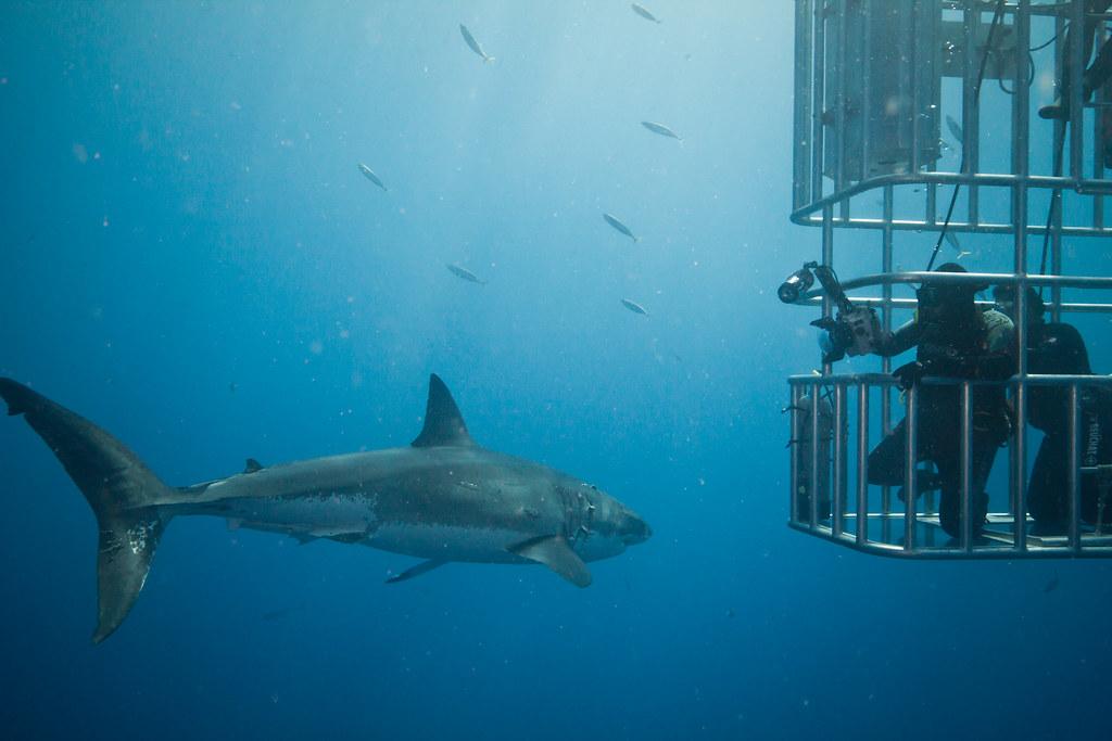 buzos mirando tiburones en Isla de Guadalupe
