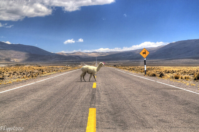 Pedestrian Alpaca (1 year on flickr!)