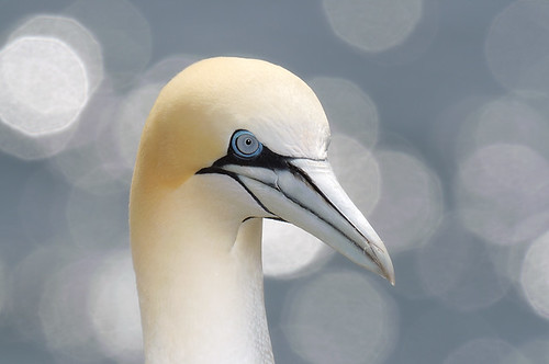 portrait st reserve marys cape northern seabird ecological gannet amazingwildlifephotography