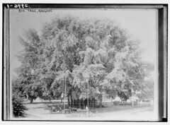 Big Tree, Rangoon  (LOC)