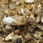 hanga-fényesbodobács - Nysius helveticus