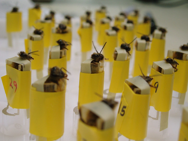 These bomb-sniffing bees are part of the Stealthy Insect Sensor Project at Los Alamos National Laboratory (LANL). Associative learning techniques (also known as Pavlovian) are used to teach the honeybees to signal the presence of certain explosives or chemicals by sticking out their tongues. The bees are held in a container that allows air to flow through while a camera detects their response. The container is designed for use at security checkpoints (airports, military bases, etc.) to discreetly check for explosives.