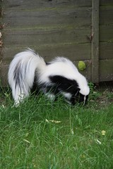 skunk(1.0), animal(1.0), pet(1.0),
