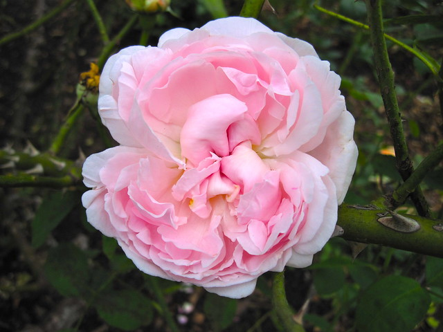 Rosa 'Emily'. Shrub, introduced 1992