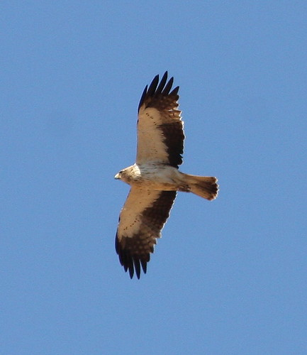 2010-09-09 LP - Booted Eagle (Hieraaetus pennatus) 03