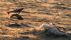 Dusky Acrobatics