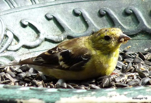 Goldfinch in the tray