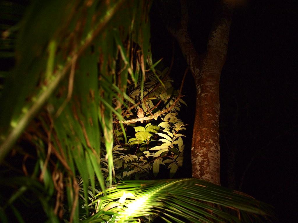 蘭嶼 Day 3 角鴞