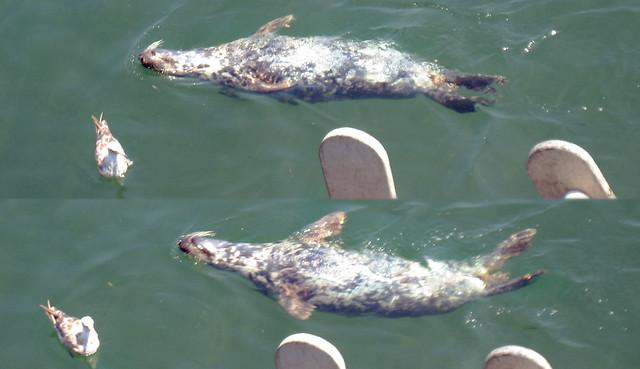 20100802 1200 cape cod fish market seal seagull for Cape cod fish market